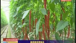 乡村四季12316|基质栽培育新品