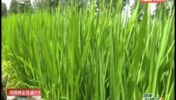 乡村四季12316|水稻出穗期有哪些注意事项