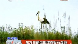 第1报道|东方白鹳惊现珲春板石湿地