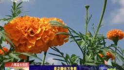 乡村四季12316|看花赚钱万寿菊
