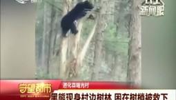 守望都市|黑熊现身村边树林 困在树梢被救下