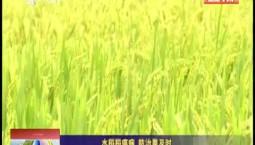 乡村四季12316 水稻稻瘟病 防治要及时