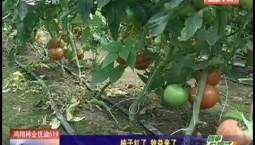 乡村四季12316 柿子红了 效益来了