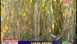 乡村四季12316|玉米收获前 病害更要防