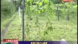 乡村四季12316|软枣子落户小果园