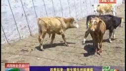 鄉村四季12316|四季科普——新生犢牛的咳喘病