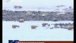 数千只水鸟飞抵吉林市越冬