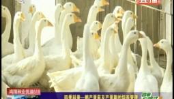 乡村四季12316|四季科普——鹅产蛋前及产蛋期的饲养管理