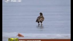 珲春龙山湖迎来珍稀海雕