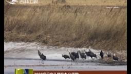 2000多只白头鹤在九台停歇