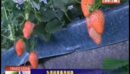 乡村四季12316 为滞销草莓寻销路
