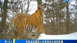 第1報道|吉林省林草局公布多組東北虎豹影像