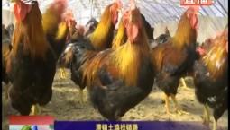 乡村四季12316|滞销土鸡找销路