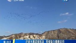 第1报道 迁徙大雁逗留和龙 民警助力雁群北归