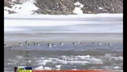 臨江市迎來大批珍稀鳥類
