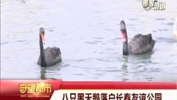 守望都市|八只黑天鹅落户长春友谊公园