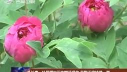 长春:牡丹园内万株鲜花盛放 花期还将持续一周