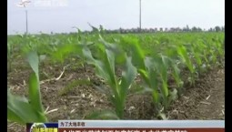 【為了大地豐收】全省玉米苗情創五年來新高 為豐收奠定基礎