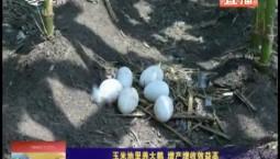 鄉村四季12316|玉米地里養大鵝 增產增收效益高