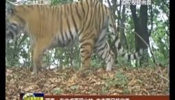 珲春:东北虎再现山林 生态圈日趋完善