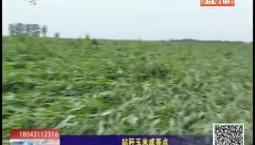 乡村四季12316 站秆玉米成亮点
