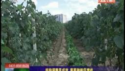 鄉村四季12316|結構調整顯成效 葡萄種植促增收