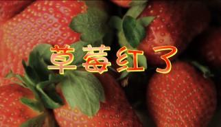 剧情类丨草莓红了