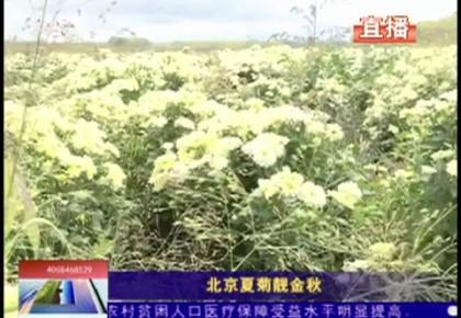 乡村四季12316|北京夏菊靓金秋