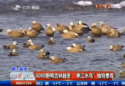 """第1报道 3000野鸭吉林越冬 """"寒江水鸟""""独特景观"""