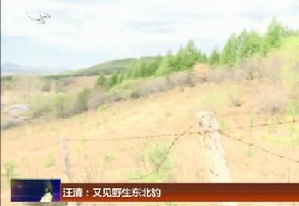 汪清:又见野生东北豹