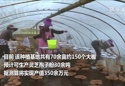云南昌寧:小小靈芝菌 增收大產業