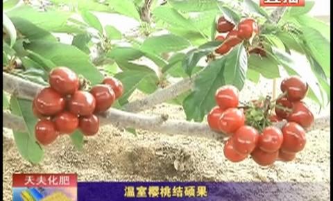 乡村四季12316_温室樱桃结硕果
