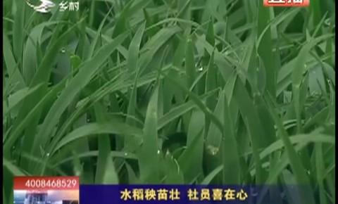 乡村四季12316_水稻秧苗壮 社员喜在心