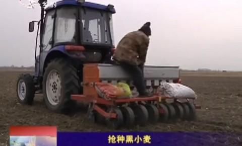 乡村四季12316_抢种黑小麦