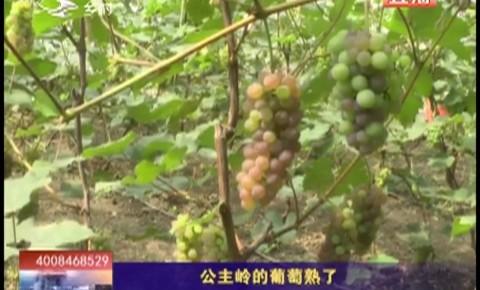 乡村四季12316_公主岭的葡萄熟了