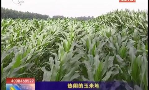 乡村四季12316_热闹的玉米地