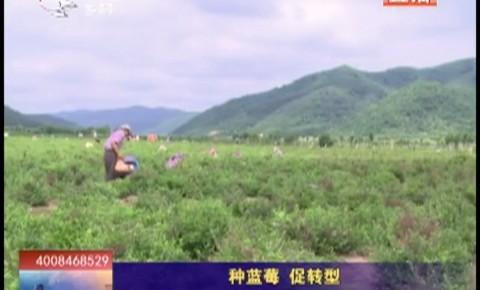 乡村四季12316丨安图县种蓝莓促转型