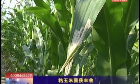 乡村四季12316|粘玉米喜获丰收