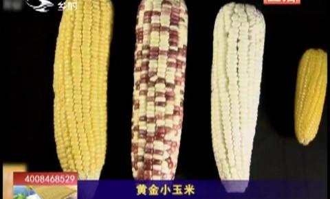 乡村四季12316|黄金小玉米