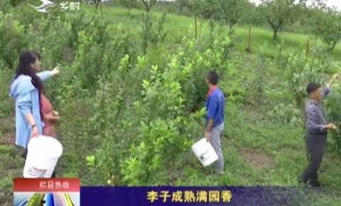 乡村四季12316|李子成熟满园香