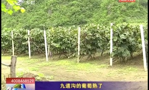 乡村四季12316|九道沟的葡萄熟了
