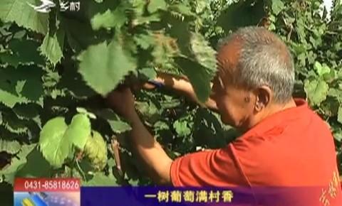 乡村四季12316|一树葡萄满村香