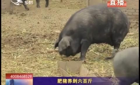 乡村四季12316|肥猪养到六百斤