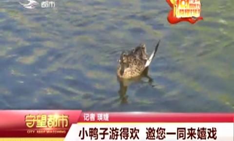 小鸭子游得欢 邀您一同来嬉戏