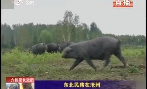 乡村四季12316|东北民猪在沧州