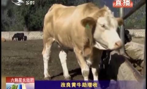 乡村四季12316|改良黄牛助增收