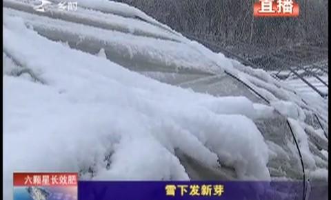 乡村四季12316|雪下发新芽