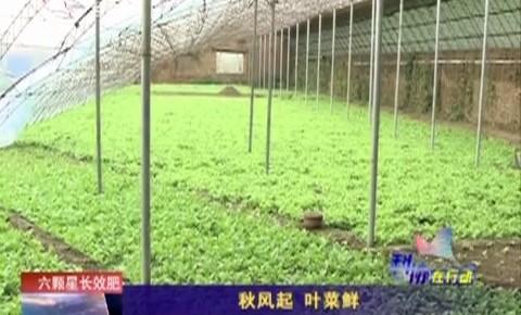 乡村四季12316|秋风起 叶菜鲜