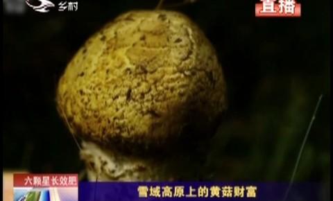 乡村四季12316|雪域高原上的黄菇财富