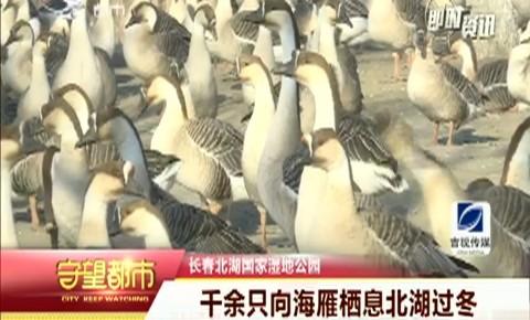 守望都市|千余只向海雁北湖过冬 奈何雁蛋被捡走